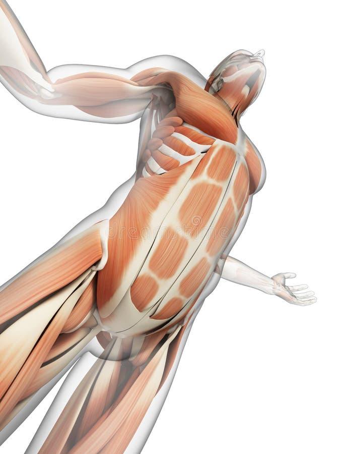 可看见的肌肉 向量例证