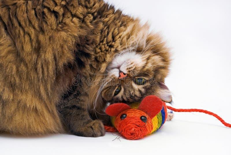 可笑的猫位于的鼠标在旁边 图库摄影