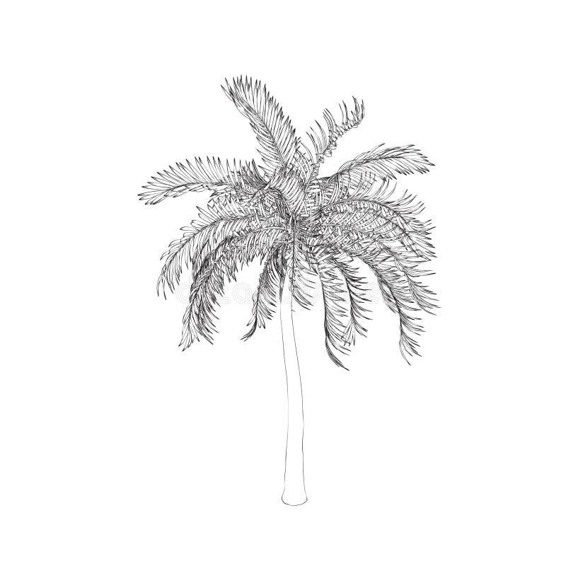 可西嘉岛海岛地中海掌上型计算机摄影被采取的结构树 背景查出的白色 传染媒介概述illustra 库存例证