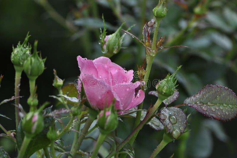 可观和审美桃红色玫瑰在叶子和芽被拘捕 免版税库存照片