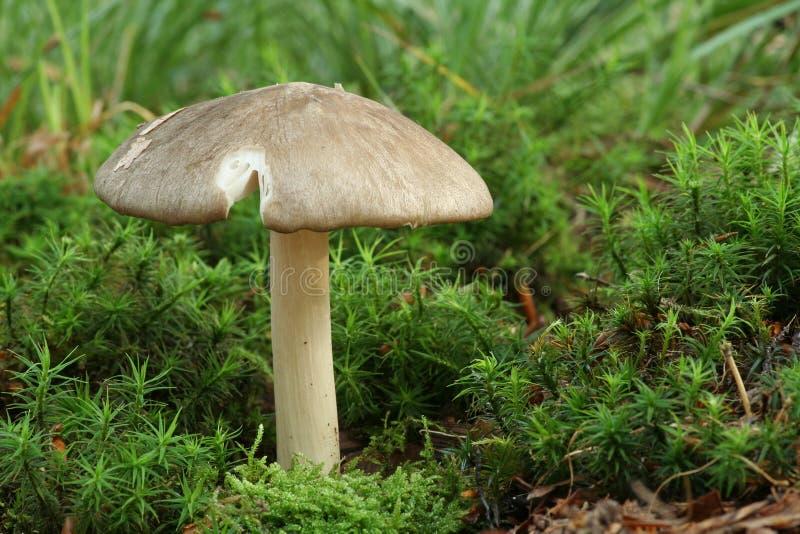 可食用的megacollybia蘑菇platyphylla 免版税库存图片