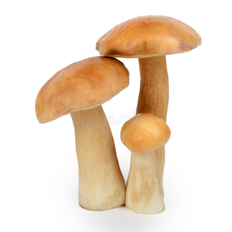 可食的牛肝菌蕈类或在白色隔绝的等概率圆蘑菇 库存图片