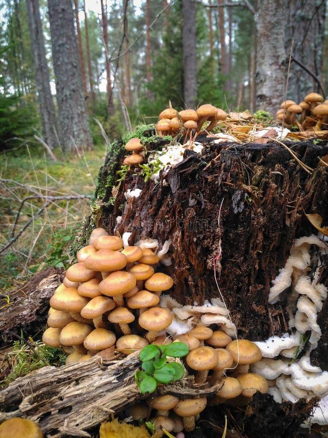可食的蘑菇蜂蜜伞菌在秋天森林里 免版税库存照片