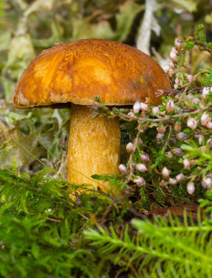 可食的蘑菇黄色 免版税图库摄影