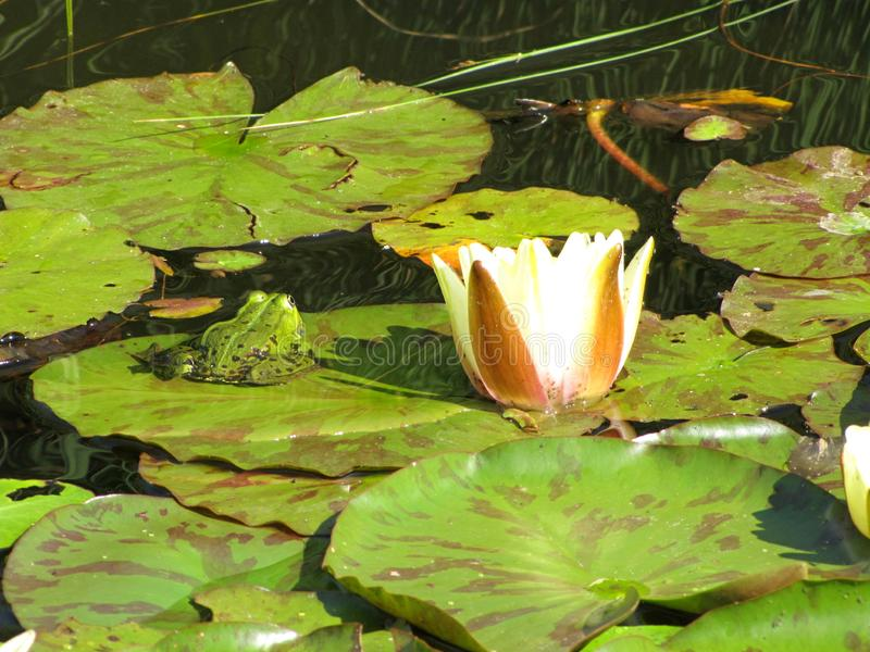 可食的青蛙Pelophylax esculentus在荷花星莲属在一个小湖 免版税图库摄影