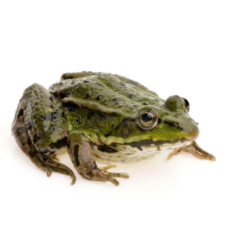 可食的esculenta青蛙蛙属 图库摄影