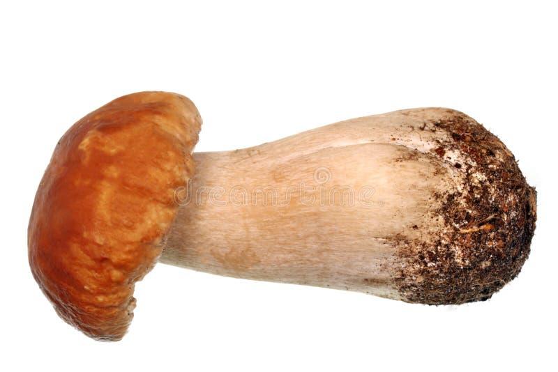 可食蘑菇的牛肝菌蕈类 图库摄影