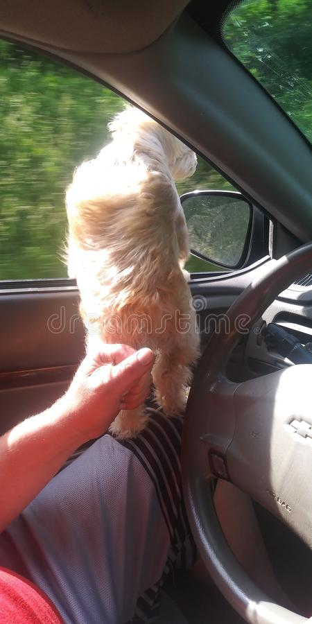 史特拉爱爸爸由尾巴得到她的汽车乘驾 库存照片