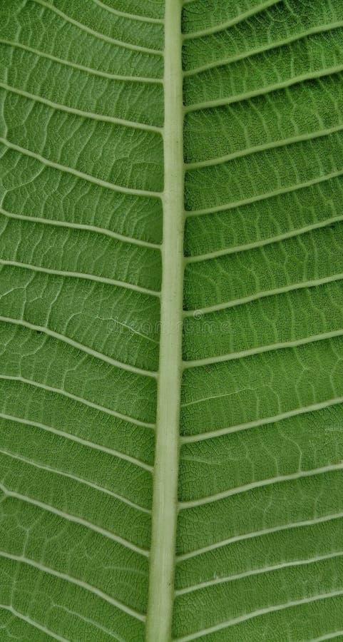 叶子和叶子静脉的子座 免版税库存照片