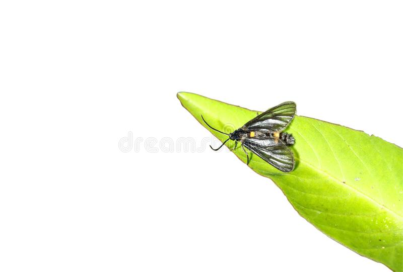 叶子和白色背景的蜂矿 免版税库存图片