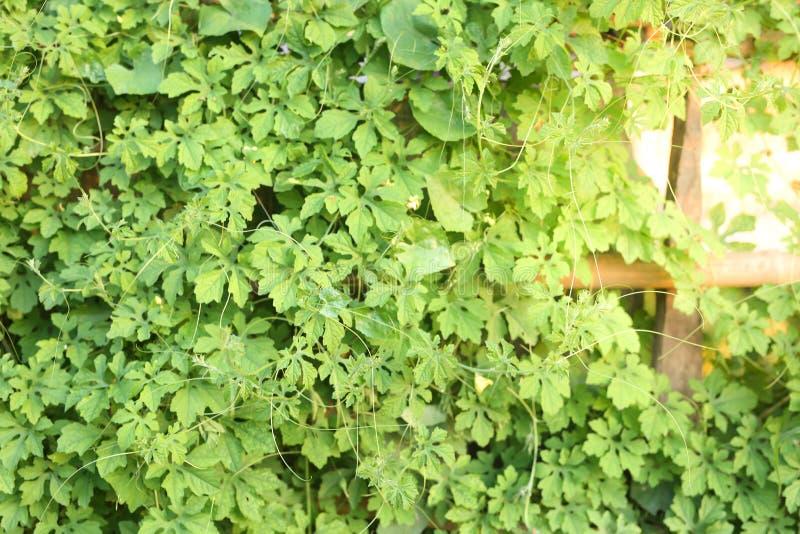 叶子和绿色在墙壁上 图库摄影