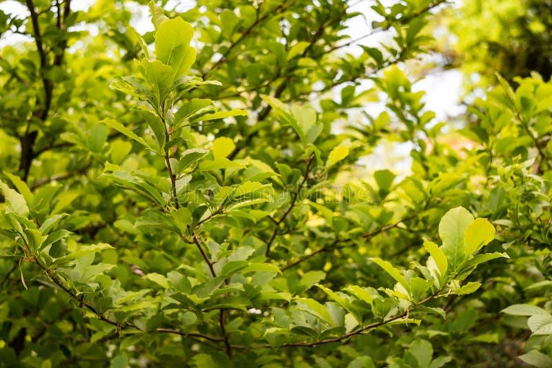 叶子在分支的木兰水羚属 免版税图库摄影