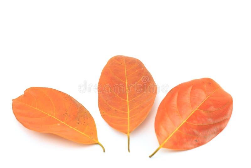 叶子在白色背景烘干 库存照片