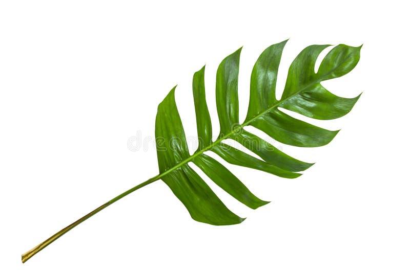 叶子在白色背景隔绝的叶子热带密林 免版税库存图片