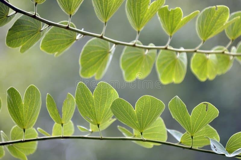 叶子宏观射击在自然绿化 免版税图库摄影