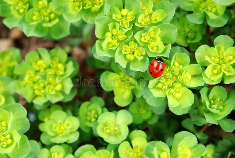 叶子新鲜的瓢虫 库存照片