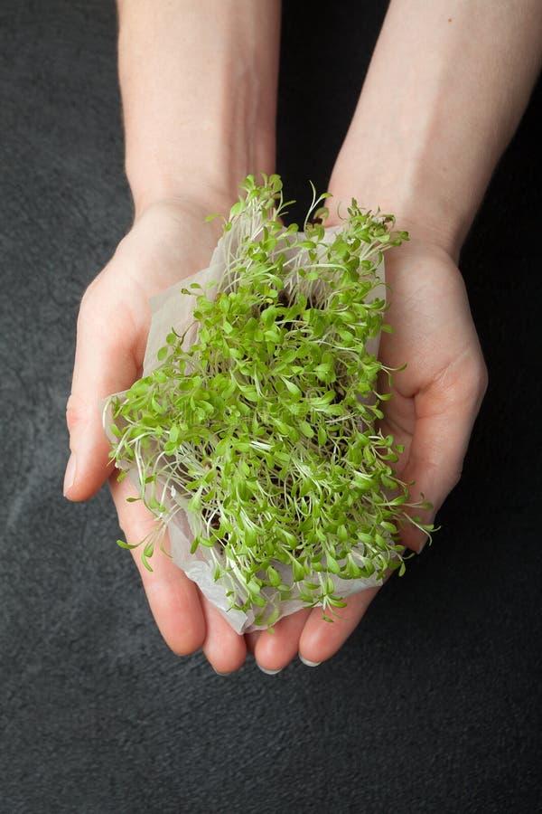 叶子新鲜的莴苣,微绿色新芽在手,特写镜头上 免版税库存照片