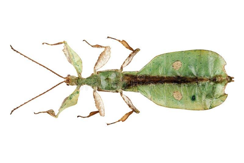 叶子昆虫种类Phyllium bioculatum男 库存照片
