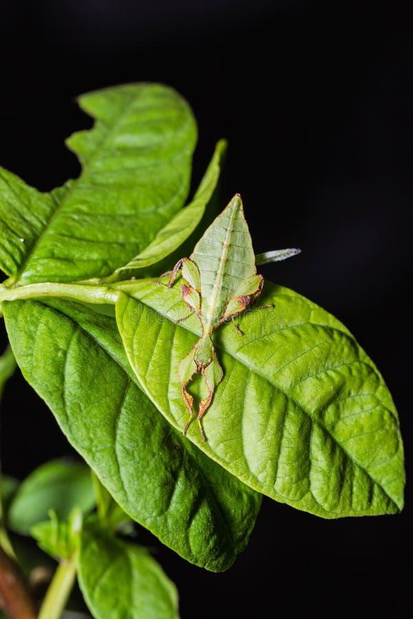 叶子昆虫phyllium westwoodi. 生物, 昆虫.图片