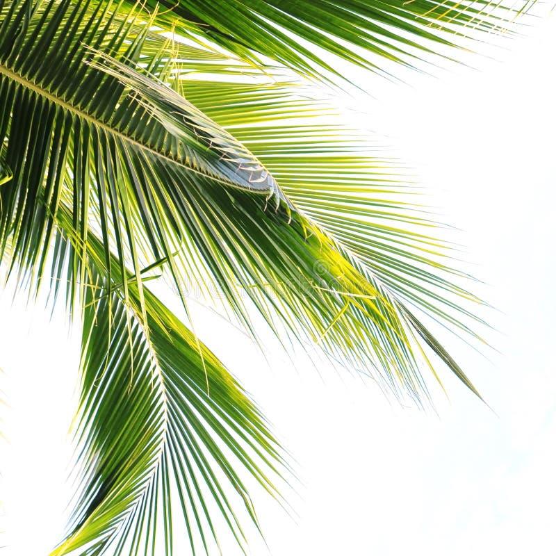 叶子棕榈树 图库摄影