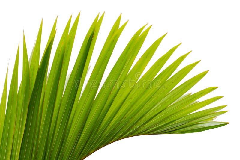 叶子棕榈树 免版税库存照片