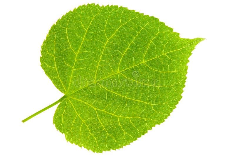 叶子椴树 图库摄影