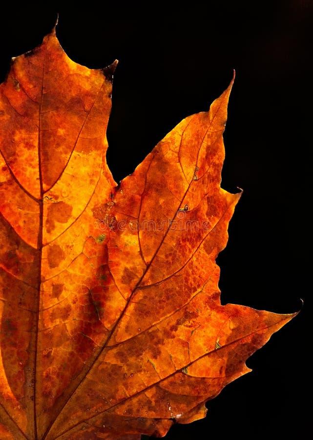 叶子槭树星期日 库存图片