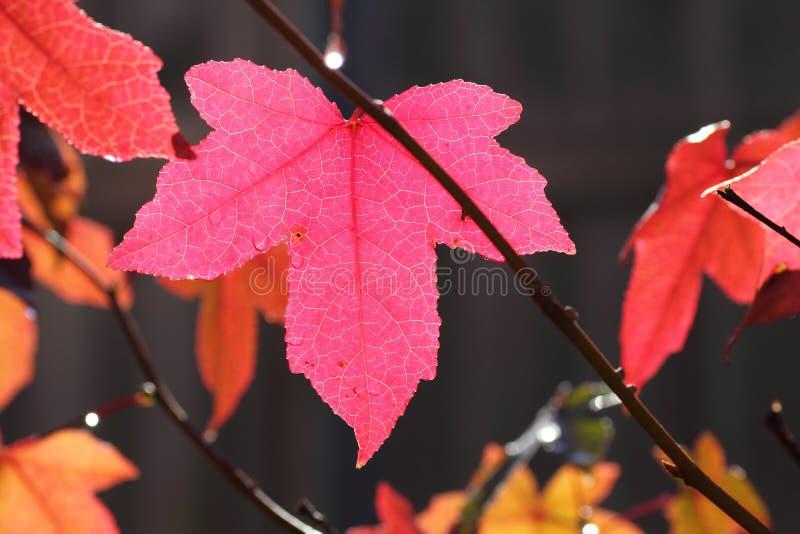 叶子槭树粉红色阳光 库存照片