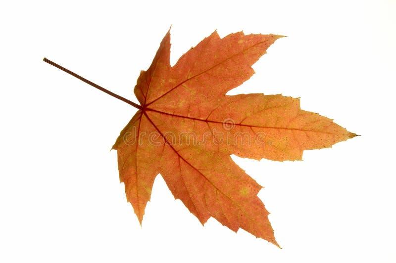 叶子槭树红色 库存图片