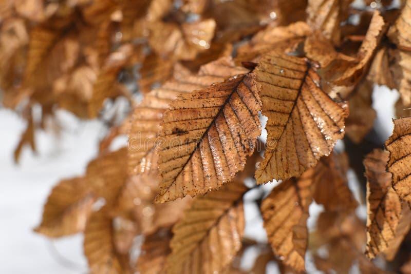 叶子死在冬天 免版税库存照片