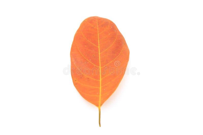 叶子烘干在美好的白色背景的一片金黄叶子 免版税库存照片