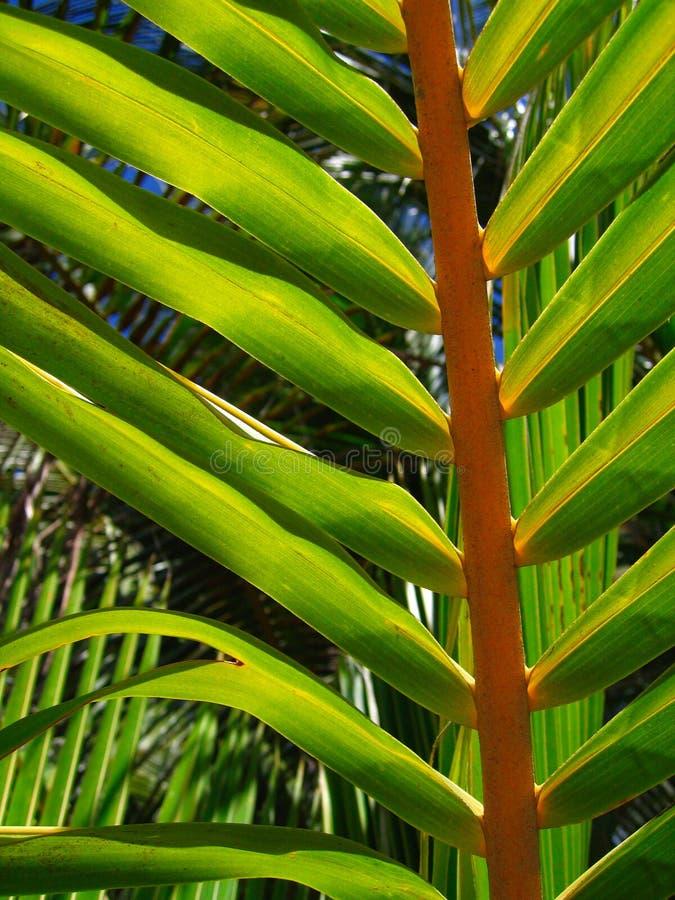 叶子热带的棕榈树 免版税图库摄影