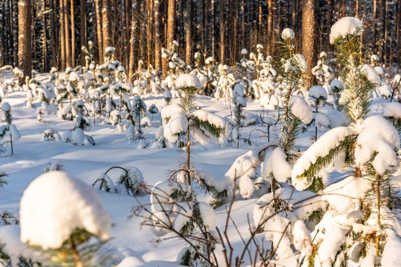叶子特写镜头在森林里在晴朗的冬天,抽象背景 库存图片