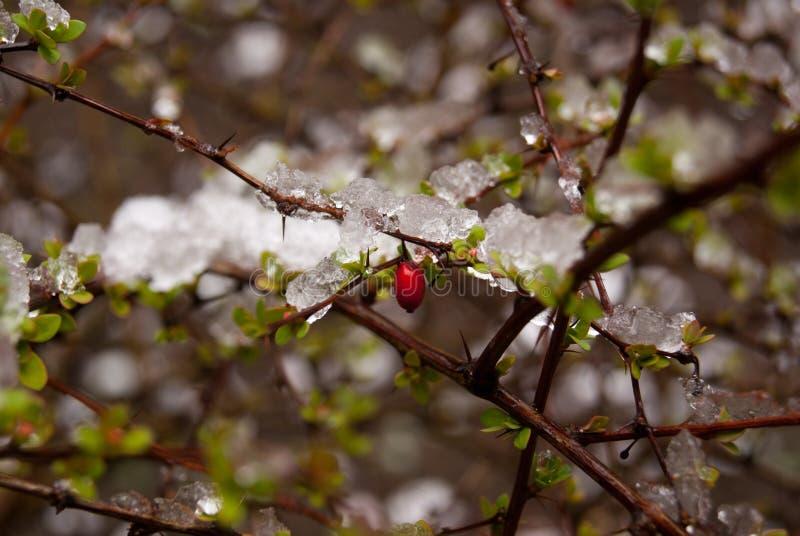 叶子用莓果 图库摄影