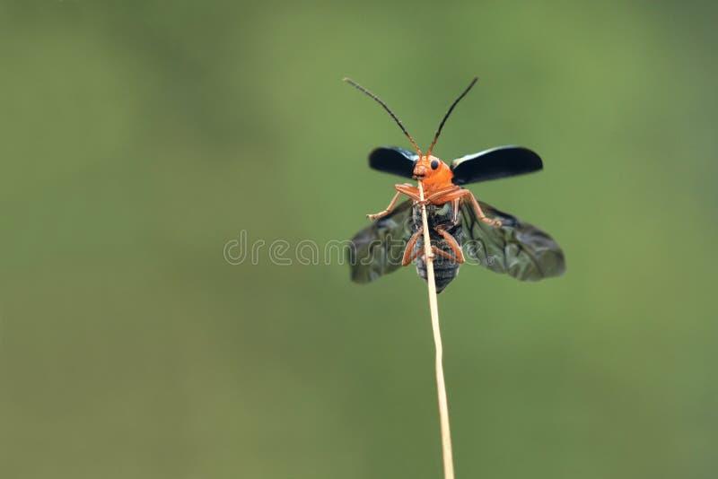 叶子甲虫 免版税图库摄影