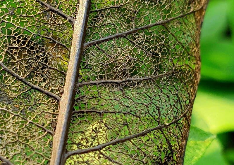 叶子的骨骼 免版税库存图片