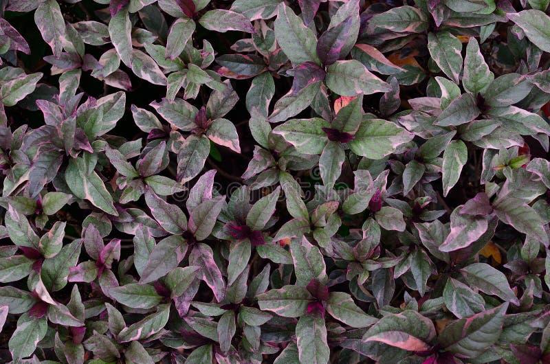 叶子种植紫色 库存图片