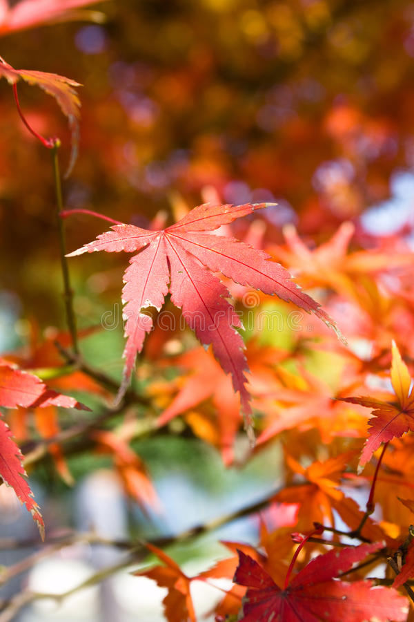 叶子红色 免版税库存图片
