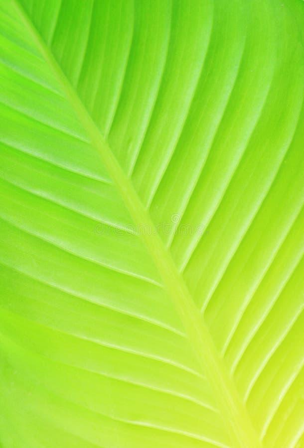 叶子茎绿色,绿色的表面样式离开纹理 库存照片