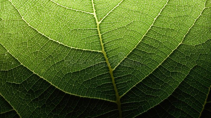 叶子血丝网络 图库摄影