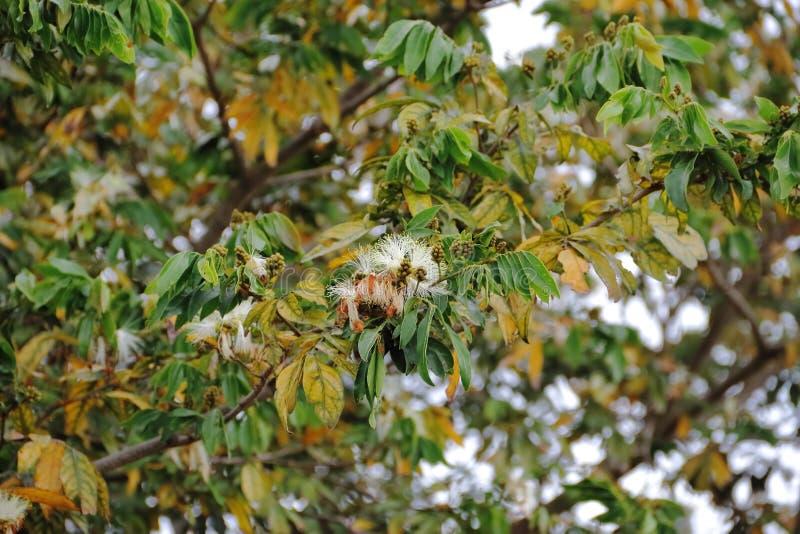 叶子金合欢的绿色黄色和开花的种类 库存照片