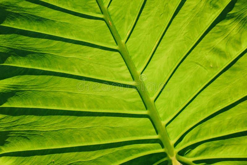 叶子静脉、巨型细平面海绵体或者绿色芋头特写镜头  免版税库存图片