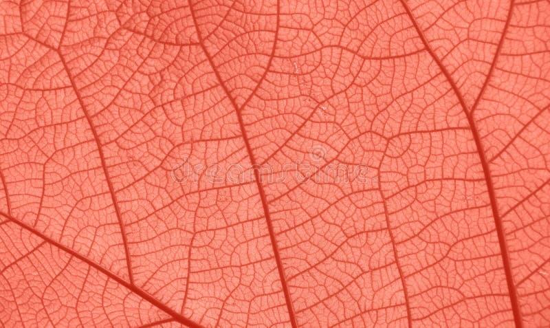 叶子静脉纹理的珊瑚桃红色被定调子的关闭  免版税库存图片