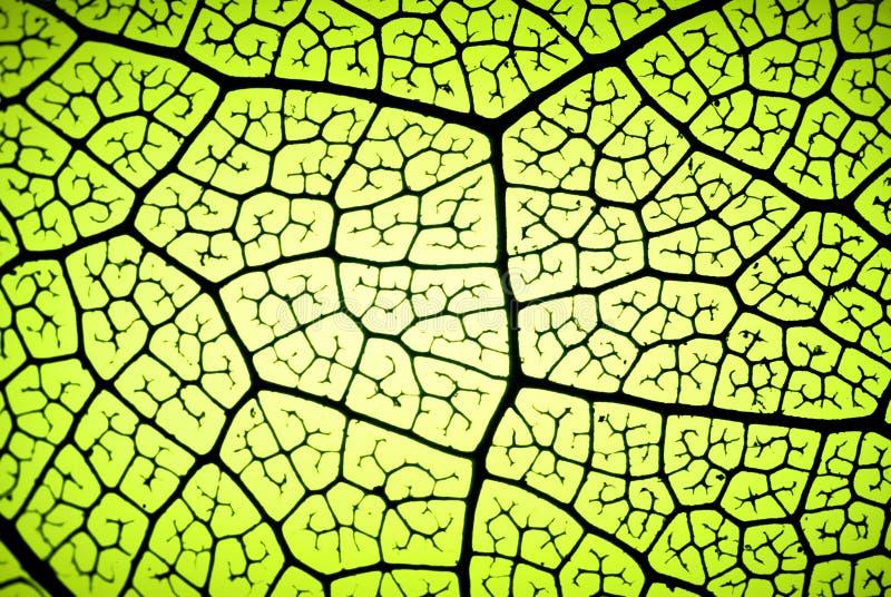 叶子静脉 免版税图库摄影