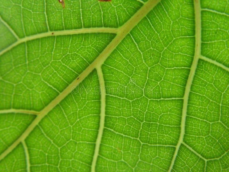 叶子静脉 库存照片