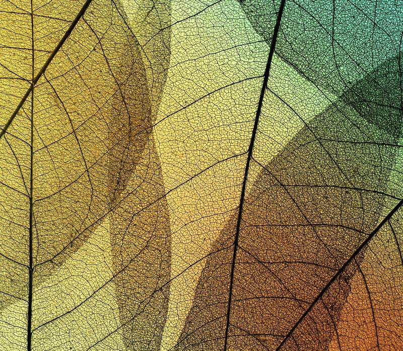 叶子骨骼美好的自然本底在透明的  库存照片