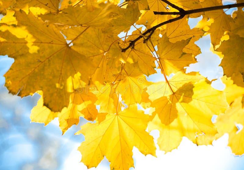 叶子黄色 免版税图库摄影