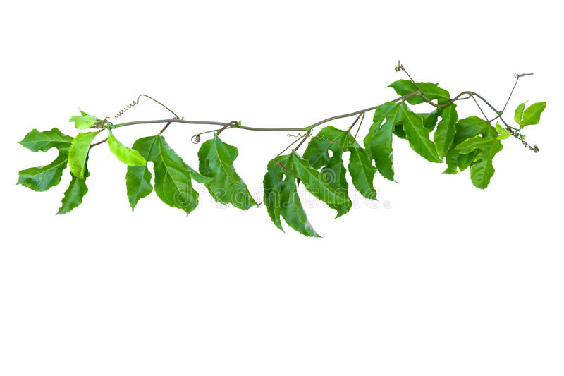 叶子绿色孤立 免版税库存照片