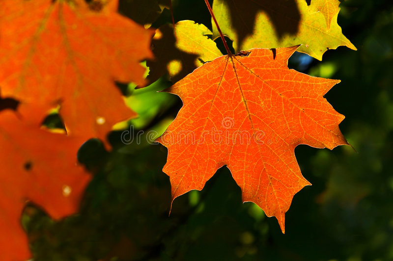 Download 叶子 库存照片. 图片 包括有 季节, 槭树, 枝杈, 五颜六色, 形状, 橙色, 叶子, 本质, 红色, 背包 - 187010