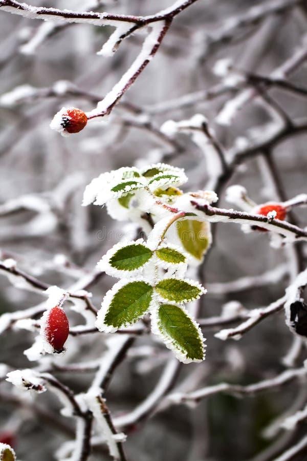 冻叶子 库存图片